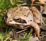 жаба Стоковое фото RF