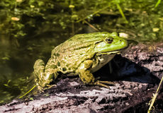 жаба Стоковая Фотография RF