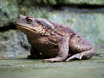жаба Стоковое Фото
