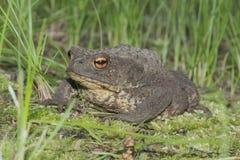 жаба Стоковое Изображение RF