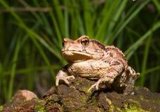 жаба 8 gargarizans bufo Стоковые Фото