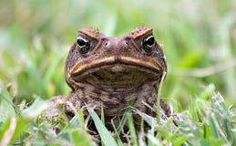 жаба Стоковые Изображения