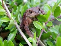 жаба bufo Стоковое Фото