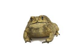 Жаба, bufo Bufo (общая жаба) Стоковое Изображение