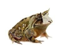 Жаба Cerrado на белизне Стоковое Фото