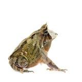 Жаба Cerrado на белизне Стоковые Фотографии RF