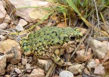 жаба debilis anaxyrus зеленая западная Стоковое Фото