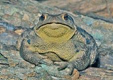 жаба 26 gargarizans bufo Стоковые Изображения RF