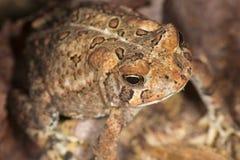 Жаба ` s охотника стоя в Нью-Хэмпширский древесины Стоковые Фото