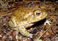 жаба sonoran пустыни исполинская Стоковое фото RF