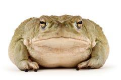 жаба sonoran пустыни Стоковые Фото