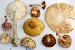 Жабры одичалых грибов Стоковые Фото