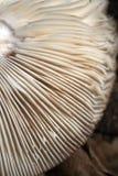 жабры Стоковое Изображение RF