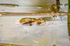 Жабы во время воспроизводства в пруде Стоковые Фото