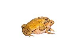 2 жабы во время размножения Стоковые Фото