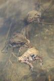 Жабы в воде, bufo Bufo Стоковое фото RF