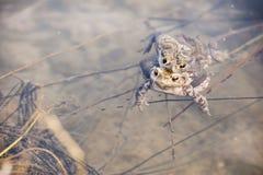 Жабы в воде, bufo Bufo Стоковые Фото
