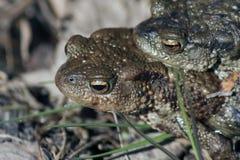 2 жабы в влюбленности Стоковые Изображения