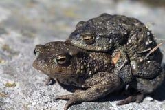 2 жабы в влюбленности Стоковая Фотография RF