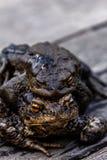 жабы 2 Любовь Стоковая Фотография RF
