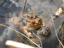 2 жабы сопрягая в воде Стоковая Фотография RF