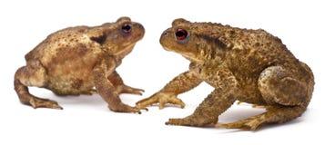 жабы 2 bufo общие европейские Стоковое Изображение RF
