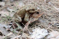 жабы Стоковые Фотографии RF