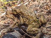 жабы Стоковые Фото