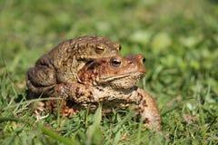 жабы Стоковое Изображение