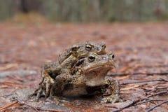 жабы bufo общие сопрягая Стоковые Фотографии RF
