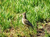 Жаворонок весны на изумрудном поле подготавливая принять  Стоковое Изображение RF
