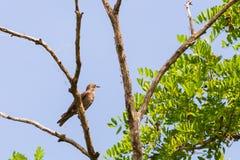 Жаворонок степи или calandra Melanocorypha на ветви дерева стоковые изображения