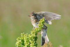 Жаворонок eurasian flapping крыла стоковые фото