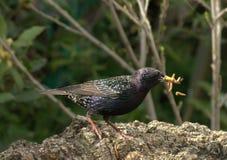 жадный starling Стоковые Изображения RF