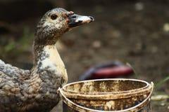Жажда и питье утки стоковое изображение rf
