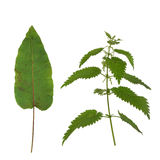 жалить крапивы листьев стыковки Стоковая Фотография