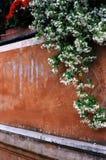жасмин римский Стоковое Изображение