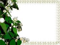 Жасмин цветет предпосылка Стоковое Изображение RF