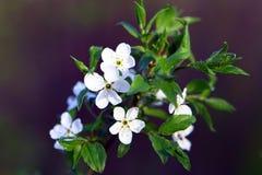 Жасмин яблока цветет на ветви, коричневой предпосылке Стоковые Фотографии RF
