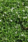 Жасмин Crape Gardenia с зелеными листьями Стоковое фото RF
