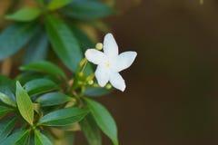 Жасмин Crape Gardenia стоковые фотографии rf