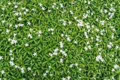 Жасмин Crape Gerdenia с зелеными листьями Стоковое Фото