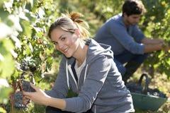 Жатки в виноградниках Стоковые Изображения