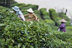 Жатки работая в поле чая Стоковые Изображения
