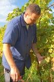 жать виноградины Стоковые Изображения RF