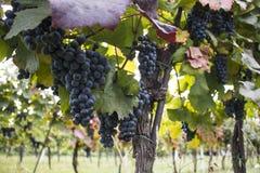 жать виноградин Стоковое фото RF