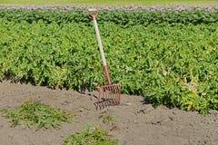 жать номер поля предпосылки цветя засаживает картошки картошки белые Аландские острова Финляндия Стоковое фото RF