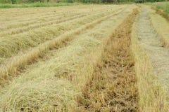 Жать рис стоковое изображение