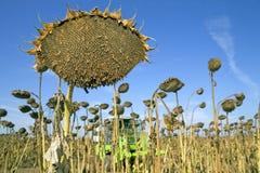 жать солнцецвет семян Стоковые Фотографии RF