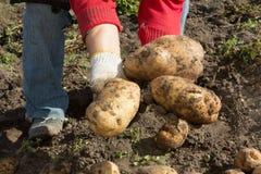 жать хороший сбор картошек Женщина ужинает урожай картошек Стоковое фото RF
